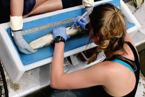 Figure 2: PhD student Jordanna Bergman surgically implanting an acoustic transmitter into a northern pike in a waterfilled and padded trough. Photo by Dan Rubinstein.