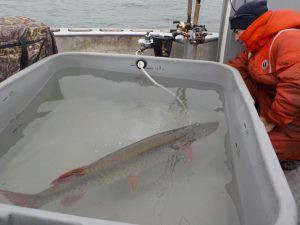 Muskellunge in recovery minutes after surgery.